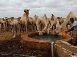 interesting facts about Somalia Africa camels